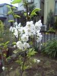 さくらんぼの花です。.jpg